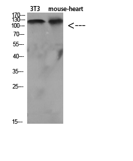 Fig.2. Western Blot analysis of various cells using Antibody diluted at 1:1000. Secondary antibody (catalog#: A21020) was diluted at 1:20000.
