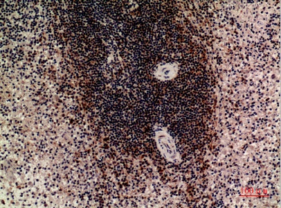 Fig.2. Immunohistochemical analysis of paraffin-embedded human-spleen, antibody was diluted at 1:100.