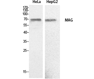 Fig. Western Blot analysis of hela, HepG2 cells using MAG Polyclonal Antibody. Secondary antibody (catalog#: A21020) was diluted at 1:20000.
