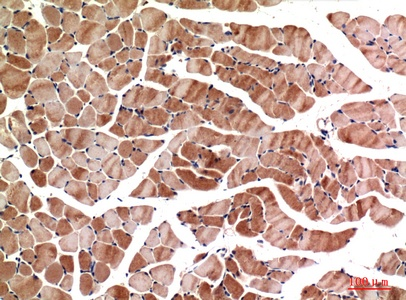 Fig.3. Immunohistochemical analysis of paraffin-embedded Mouse-muscle, antibody was diluted at 1:100.
