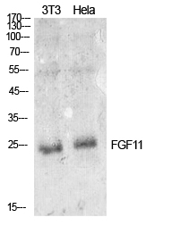 Fig. Western Blot analysis of NIH-3T3, hela cells using FGF-11 Polyclonal Antibody. Secondary antibody (catalog#: A21020) was diluted at 1:20000.