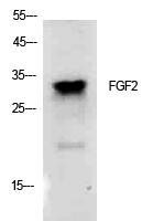 Fig.1. Western Blot analysis of K562 cells using FGF-2 Polyclonal Antibody. Secondary antibody (catalog#: A21020) was diluted at 1:20000.