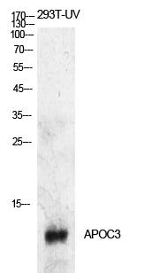 Fig.1. Western Blot analysis of 293T-UV cells using ApoC-III Polyclonal Antibody. Antibody was diluted at 1:500. Secondary antibody (catalog#: A21020) was diluted at 1:20000.