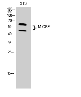 Fig.2. Western Blot analysis of 3T3 cells using M-CSF Polyclonal Antibody. Secondary antibody (catalog#: A21020) was diluted at 1:20000.