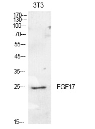 Fig.1. Western Blot analysis of NIH-3T3 cells using FGF-17 Polyclonal Antibody. Secondary antibody (catalog#: A21020) was diluted at 1:20000.