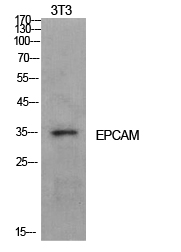 Fig. Western Blot analysis of NIH-3T3 cells using EP-CAM Polyclonal Antibody. Secondary antibody (catalog#: A21020) was diluted at 1:20000.