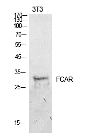 Fig.1. Western Blot analysis of NIH-3T3 cells using CD89 Polyclonal Antibody. Secondary antibody (catalog#: A21020) was diluted at 1:20000.