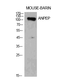 Fig.1. Western Blot analysis of Mouse brain cells using CD13 Polyclonal Antibody. Antibody was diluted at 1:1000. Secondary antibody (catalog#: A21020) was diluted at 1:20000.