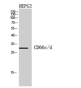 Fig.2. Western Blot analysis of HepG2 cells using CD66c/d Polyclonal Antibody diluted at 1:1000. Secondary antibody (catalog#: A21020) was diluted at 1:20000.