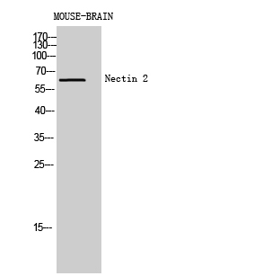 Fig.2. Western Blot analysis of Mouse-BRAIN cells using Nectin 2 Polyclonal Antibody diluted at 1:500. Secondary antibody (catalog#: A21020) was diluted at 1:20000.