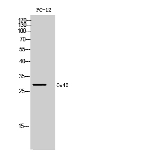 Fig. Western Blot analysis of PC12 cells using Ox40 Polyclonal Antibody. Secondary antibody (catalog#: A21020) was diluted at 1:20000.