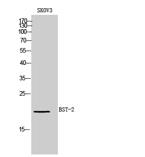 Fig.1. Western Blot analysis of SKOV3 cells using BST-2 Polyclonal Antibody. Secondary antibody (catalog#: A21020) was diluted at 1:20000.