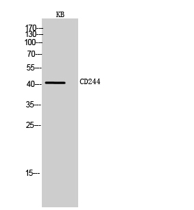 Fig.2. Western Blot analysis of KB cells using CD244 Polyclonal Antibody. Secondary antibody (catalog#: A21020) was diluted at 1:20000.