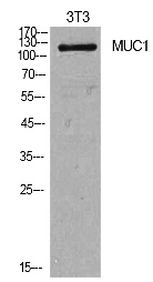 Fig.1. Western Blot analysis of NIH-3T3 cells using Mucin 1 Polyclonal Antibody. Secondary antibody (catalog#: A21020) was diluted at 1:20000.
