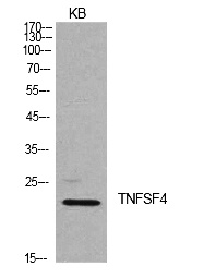 Fig.1. Western Blot analysis of KB cells using Ox40L Polyclonal Antibody. Secondary antibody (catalog#: A21020) was diluted at 1:20000.