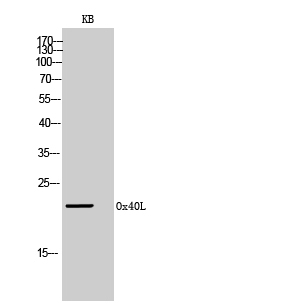 Fig.2. Western Blot analysis of KB cells using Ox40L Polyclonal Antibody. Secondary antibody (catalog#: A21020) was diluted at 1:20000.