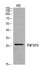 Fig.1. Western Blot analysis of KB cells using CD30-L Polyclonal Antibody. Secondary antibody (catalog#: A21020) was diluted at 1:20000.