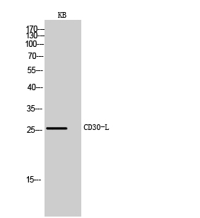 Fig.2. Western Blot analysis of KB cells using CD30-L Polyclonal Antibody. Secondary antibody (catalog#: A21020) was diluted at 1:20000.