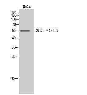 Fig.1. Western Blot analysis of hela cells using SIRP-α1/β1 Polyclonal Antibody. Secondary antibody (catalog#: A21020) was diluted at 1:20000.