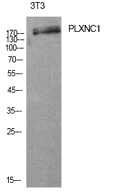Fig.1. Western Blot analysis of 3T3 cells using CD232 Polyclonal Antibody. Antibody was diluted at 1:1000. Secondary antibody (catalog#: A21020) was diluted at 1:20000.