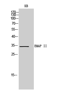 Fig.2. Western Blot analysis of KB cells using EMAP II Polyclonal Antibody. Secondary antibody (catalog#: A21020) was diluted at 1:20000.