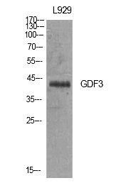 Fig.1. Western Blot analysis of L929 cells using GDF-3 Polyclonal Antibody. Antibody was diluted at 1:500. Secondary antibody (catalog#: A21020) was diluted at 1:20000.
