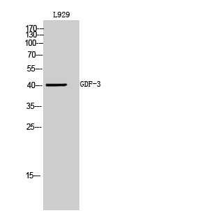 Fig.2. Western Blot analysis of L929 cells using GDF-3 Polyclonal Antibody diluted at 1:500. Secondary antibody (catalog#: A21020) was diluted at 1:20000.