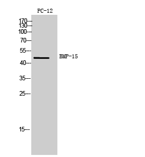 Fig. Western Blot analysis of PC12 cells using BMP-15 Polyclonal Antibody. Secondary antibody (catalog#: A21020) was diluted at 1:20000.