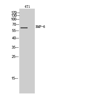 Fig. Western Blot analysis of 4T1 cells using BMP-6 Polyclonal Antibody. Secondary antibody (catalog#: A21020) was diluted at 1:20000.