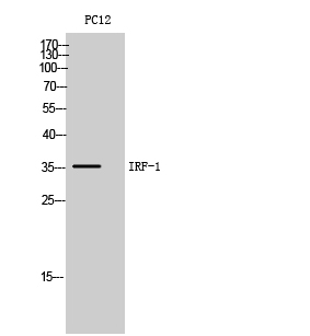 Fig. Western Blot analysis of PC12 cells using IRF-1 Polyclonal Antibody. Secondary antibody (catalog#: A21020) was diluted at 1:20000.