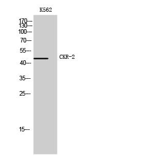 Fig. Western Blot analysis of K562 cells using CKR-2 Polyclonal Antibody.