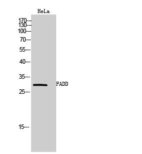 Fig. Western Blot analysis of HeLa cells using FADD Polyclonal Antibody.
