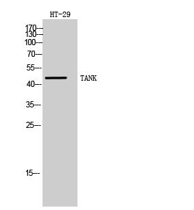 Fig. Western Blot analysis of HT-29 cells using TANK Polyclonal Antibody.