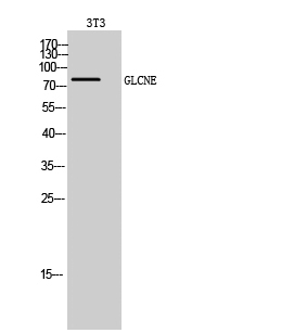 Fig. Western Blot analysis of 3T3 cells using GLCNE Polyclonal Antibody diluted at 1:500.