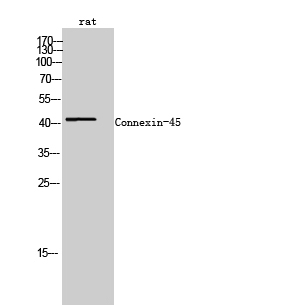 Fig. Western Blot analysis of rat cells using Connexin-45 Polyclonal Antibody.