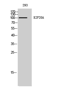 Fig. Western Blot analysis of 293 cells using KIF20A Polyclonal Antibody.