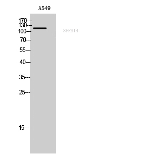 Fig. Western Blot analysis of A549 cells using SFRS14 Polyclonal Antibody.