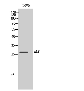 Fig. Western Blot analysis of LOVO cells using ALY Polyclonal Antibody.