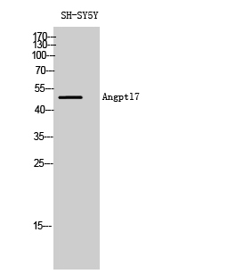 Fig. Western Blot analysis of SH-SY5Y cells using Angptl7 Polyclonal Antibody diluted at 1:2000.