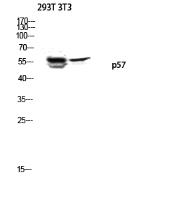 Fig.3. Western blot analysis of 293T 3T3 lysis using p57 antibody. Antibody was diluted at 1:1000.