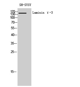Fig. Western Blot analysis of SH-SY5Y cells using Laminin γ-3 Polyclonal Antibody diluted at 1:1000.
