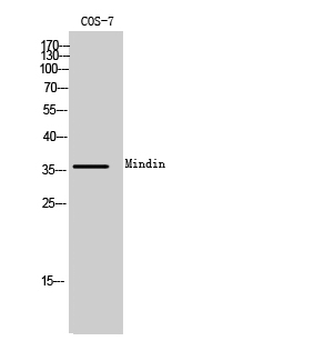 Fig. Western Blot analysis of COS-7 cells using Mindin Polyclonal Antibody.