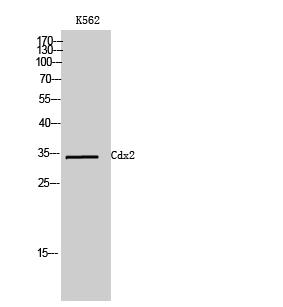 Fig. Western Blot analysis of K562 cells using Cdx2 Polyclonal Antibody.