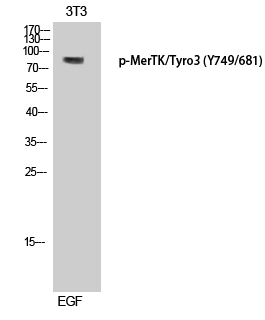 Fig.1. Western Blot analysis of 3T3 cells using Phospho-MerTK/Tyro3 (Y749/681) Polyclonal Antibody diluted at 1:500.