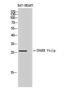 Fig. Western Blot analysis of RAT-HEART cells using v-SNARE Vti1p Polyclonal Antibody diluted at 1:1000. Secondary antibody (catalog#: A21020) was diluted at 1:20000.