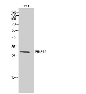 Fig. Western Blot analysis of rat cells using PHAPI2 Polyclonal Antibody.