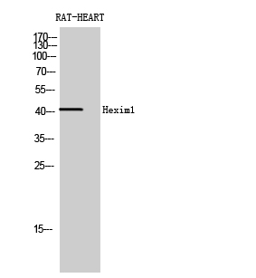 Fig. Western Blot analysis of RAT-HEART cells using Hexim1 Polyclonal Antibody diluted at 1:2000.