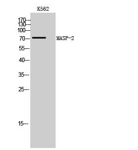Fig. Western Blot analysis of K562 cells using MASP-2 Polyclonal Antibody.