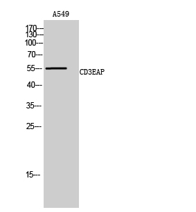 Fig. Western Blot analysis of A549 cells using CD3EAP Polyclonal Antibody.