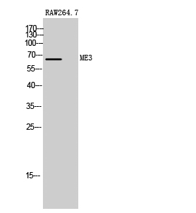 Fig. Western Blot analysis of RAW264.7 cells using ME3 Polyclonal Antibody.